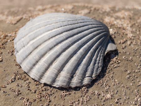 calcareous: A beautiful neutral coloured sea shell on a rustic weathered barnacle covered rock background. Stock Photo