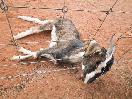 The carcass of a dead wild goat , who died as a result of getting stuck in a metal wire fence, in the australian outback