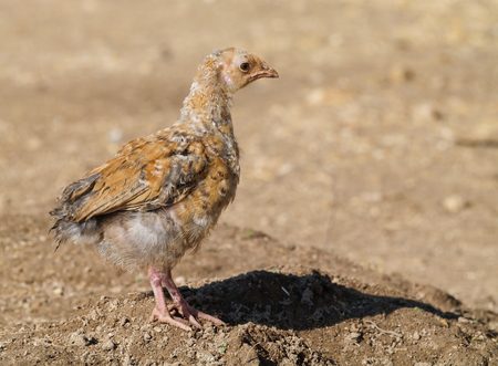 A free range dirty young chick on a farm wasteland