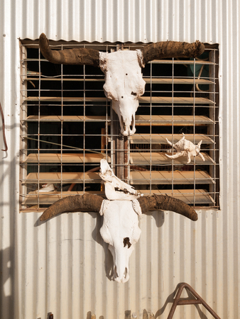 Bone dry cow cattle skulls, hanging against a sun baked corrugated metal shed in the outback desert of australia. Stock Photo