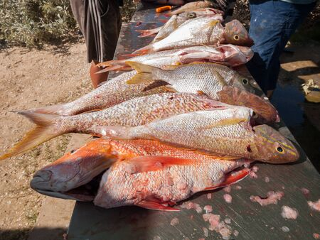baited: Large tropical snapper fish, that have been freshly caught by fishermen, on a metal table in preparation for cooking.