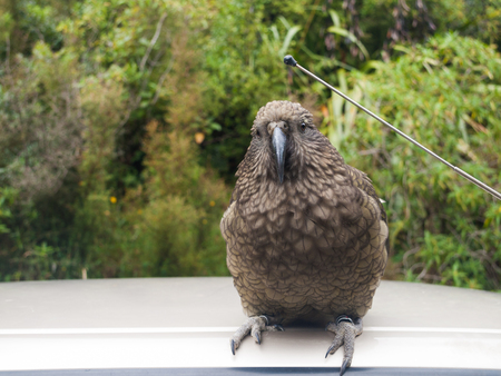 wing span: The very rare Kea alpine parrot bird from new zealand. Kea birds are in decline and are classes as a vulnerable species. New zealand parrot.