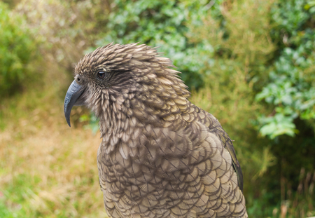 smooth: The very rare Kea alpine parrot bird from new zealand. Kea birds are in decline and are classes as a vulnerable species. New zealand parrot.