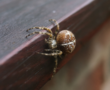a beautiful creepy big red and orange arachnid spider, crawling on a window ledge, shot with a shallow depth of field.
