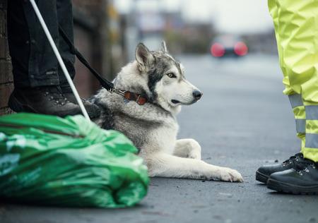 A beautiful husky wolf dog, with yellow eyes and beautiful fur coat, lying down on the sidewalk pavement. Stock Photo
