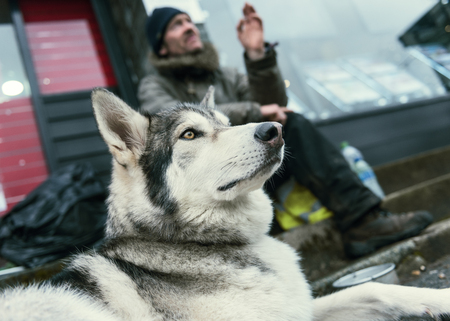 Manchester, England, 05052017, A beautiful husky wolf dog, with yellow eyes and beautiful fur coat, on a lead. Wayne dixon and koda the dog travelling UK sleeping homeless along the way.