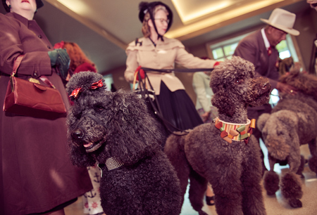 london, england, 05/07/2017 , A retro and well dressed vintage couple with a pack of poodle dogs at a vintage nostalgic weekend event fair. Vintage street style.