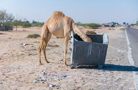 Wild camels in the hot dry middle eastern desert eating from a metal garbage