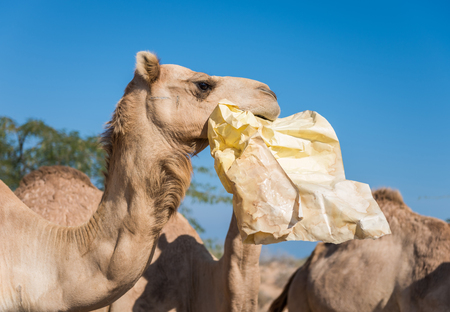 wild camels in the hot dry middle eastern desert eating plastic garbage waste  Stock Photo
