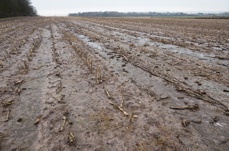 Dead rotting corn plants on and icy cold field. Harsh winter kills crops