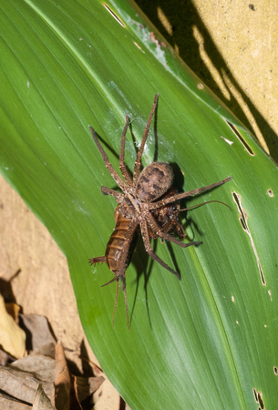 A huntsman spider attacking and carrying a locust
