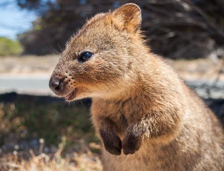 Quokka australiano no perfil da ilha de rottnest