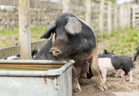 A large Saddleback pig taking a drink of water from a trough Stock Photo