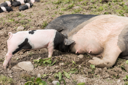 A large Saddleback pig lying down in a muddy field, while young piglets feed from her nipples 写真素材