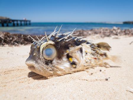 A pufferfish blowfish washed up on a beautiful tropical beach Stock Photo