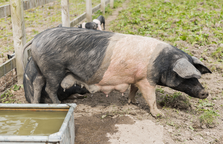 Saddleback pig with full tests, in a muddy field, with piglets in the background