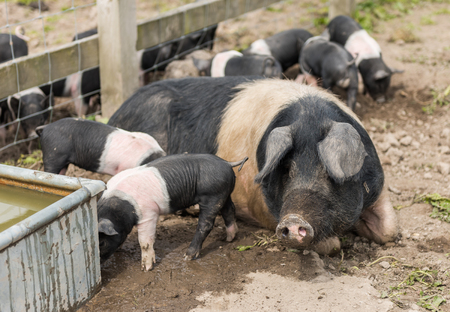 Saddleback piglets and mother pig, in a muddy field,looking for food