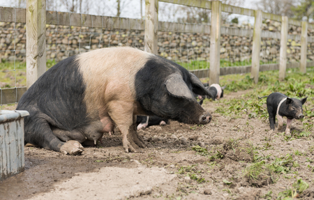 Saddleback pig getting up from the ground