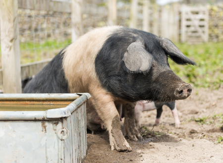 A large Saddleback pig looking for food near a trough of water