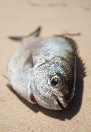 A freshly caught bream fish caught on the beach
