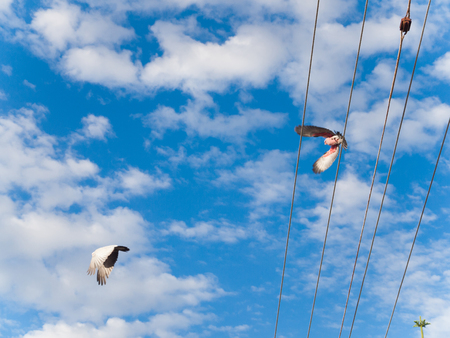 two pink australian galah cockatoos flying off a city telegraph pole, against a vivid blue sky backdrop.