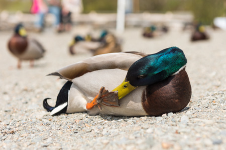 A colourful male duck amongst a team of ducks,  washing his webbed foot, with a shallow depth of field.
