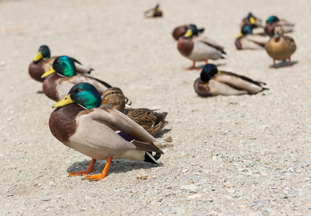 A colourful male duck amongst a team of ducks, with a shallow depth of field.