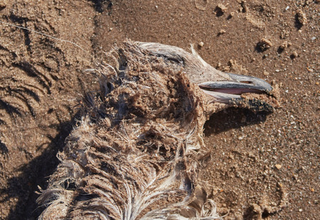 a dead seagull bird washed up on a polluted sandy beach, after an oil spill in the sea or after eating plastic pollution
