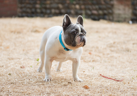 A beautiful stocky proud french bulldog dog stood in a woodland floor. French bulldog pedigrees are a popular family dog.