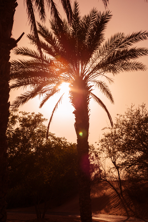 Arty Palm tree silhouette at a desert oasis, during a sandstorm at sunset. Atmospheric backlit palm tree. warm vintage sepia colour palette. Stock fotó