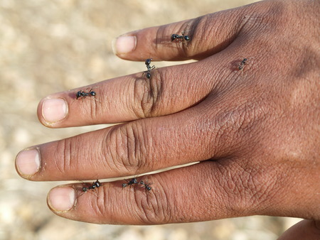 An Moroccan mans hand in the desert, covered with desert colony ants. Large ants that can bite and sting. Aggressive ants working together as a team.