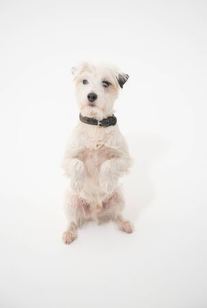 A white parsons russell terrier, isolated on a white seamless wall in a photo studio. dogs preforming tricks ion the studio. clever dog training.