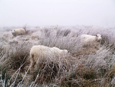 Livestock sheep freezing in a frozen icy wet field in the freezing moors in winter. harsh conditions for livestock and farming. Animals freezing to death in rural fields. global warming problems. Stock Photo