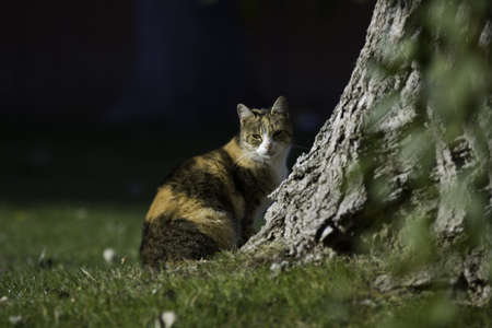 dilute: Beautiful tricolor cat behind tree in the garden