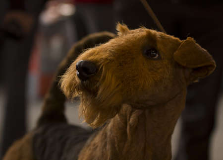 airedale terrier dog: Closeup of Airedale Terrier sweet looking with dark background and