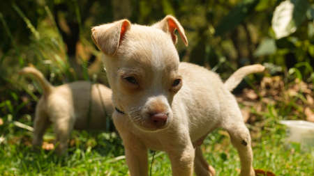 white chihuahua puppy playing on the grass
