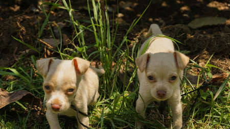 white chihuahua puppies playing on the grass