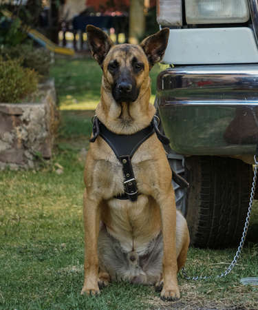 Belgian shepherd dog brown color