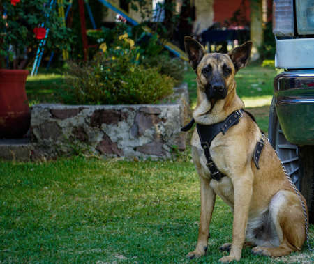 Belgian shepherd dog brown color 版權商用圖片 - 100921809