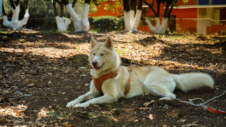 husky dog ??lying on the grass We see a husky dog ??pose as a model. it is superb