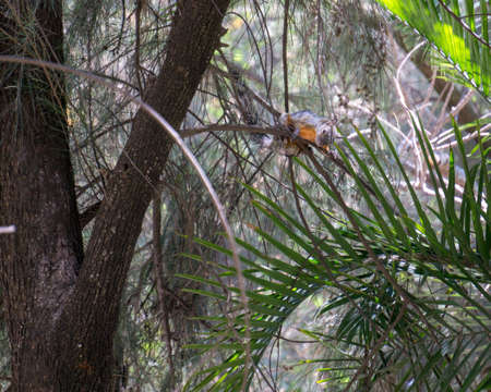 squirrel with orange breast climbed on the branches of a tree Banco de Imagens
