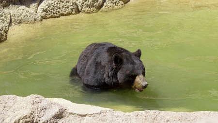 huge black bear walking through its habitat without being disturbed Banco de Imagens