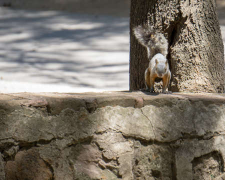 Squirrel with orange breast on a stone wall in the forest