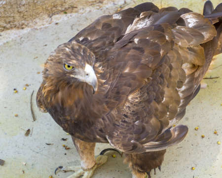 golden eagle standing on a small puddle to drink water Banco de Imagens