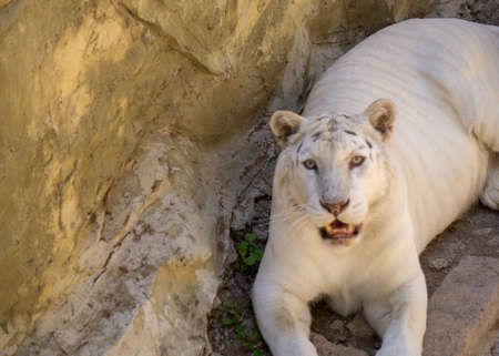 white tiger resting on some rocks looking at the camera