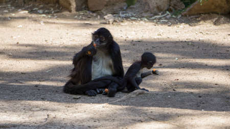 little black monkeys eating carrot under the shade of a tree