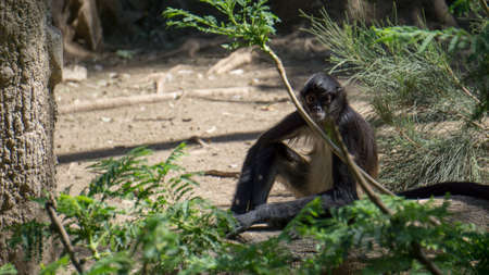 very relaxed black monkey sitting by the grass looking at the camera