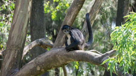 black monkey sitting on a branch of a tree holding its tail