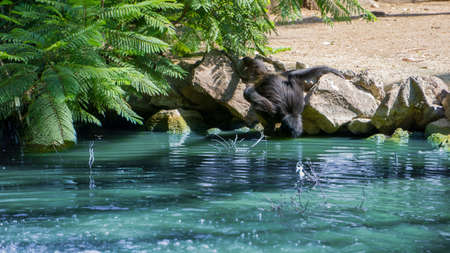 black monkey drinking water directly from a blue lake Banco de Imagens
