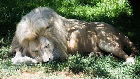 Albino lion lying on green pastures, resting comfortably